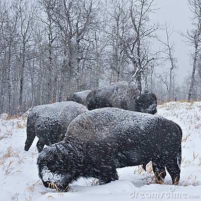 Free Blizzard Bison Stock Image - 416361