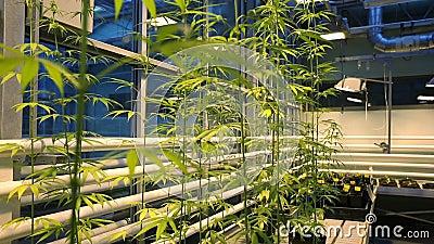 Bloeit de medische cannabis van de onderzoekwetenschap voor geneeskrachtige doeleinden, marihuana, aangaande nadrukdetail, de cul stock videobeelden