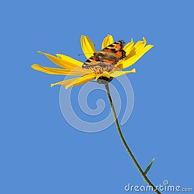 Bloem van popato en de vlinder van Canada