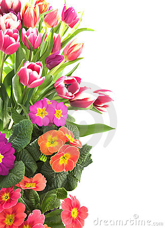 Blom- primrosetulpan för kant