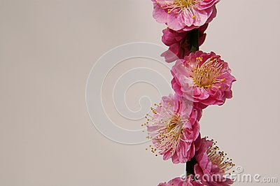 Blomma frunchpersika