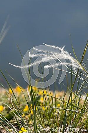 Blomma gräs