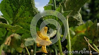 blomma gurka Tr?dg?rdaff?r Gula blommor av gurkor blommar p? busken blomma gurkor som ?r fullvuxna i ?ppen jordning plantatio lager videofilmer