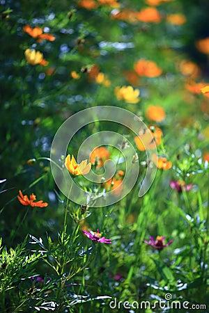 Blomma yellow