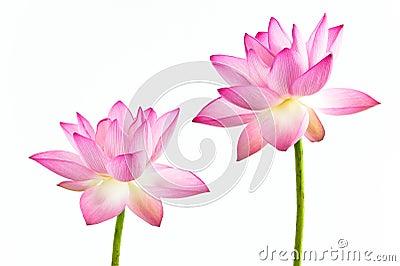 Blommaliljalotusblommar pink twain vatten