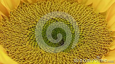 Blommande Closeup för solros lager videofilmer