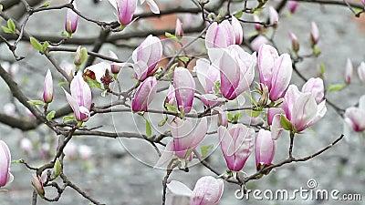 Blommande magnoliablommaträd i staden