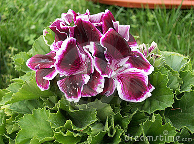 Blommapelargon