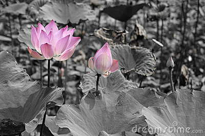 Blommar lotusblomma