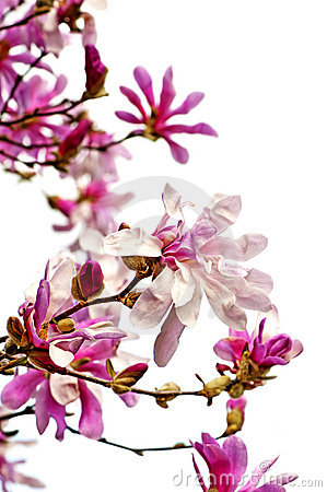 Blommar magnoliaen