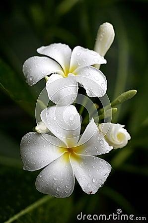 Blommar plumeria