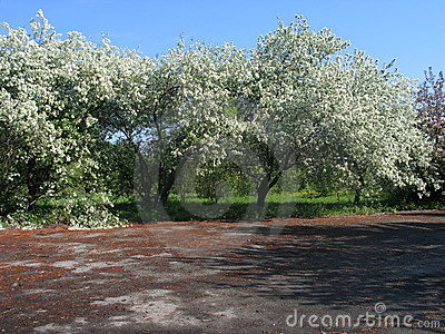 Blommas trees