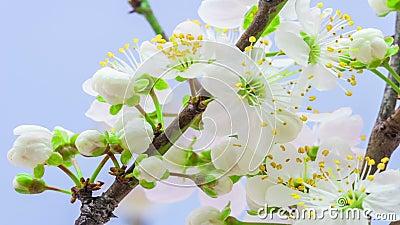 Blommatimelapse för lös plommon
