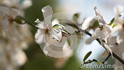 Blommor av den vita magnolian blodsugare stock video