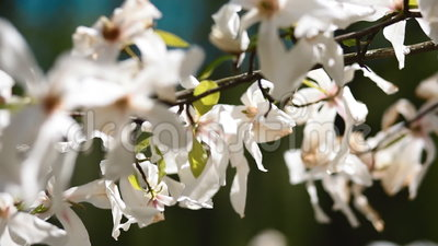 Blommor av den vita magnolian blodsugare arkivfilmer