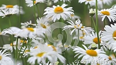 Blommor av kamomillar, kamomillträdgård