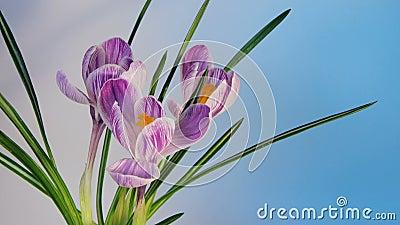 Blommor som blommar Timelapse