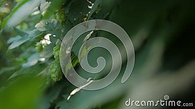 Blommorna av grönt humle