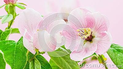 Blomstra för kvittenblomma