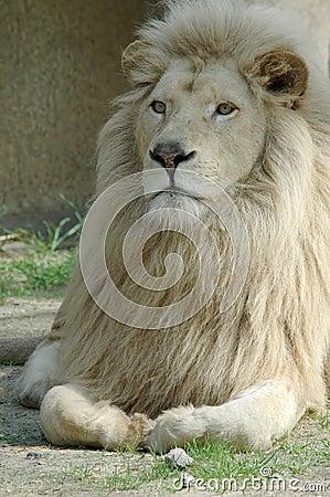A blond lion