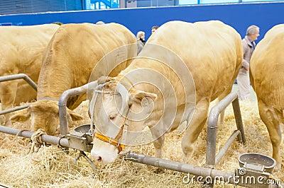 Blonde of Aquitaine Cow Editorial Image