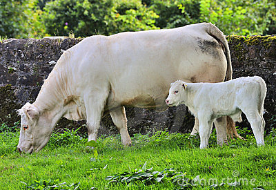 Blonde cow and calf