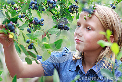 Blonde Girl Picking Blueberries