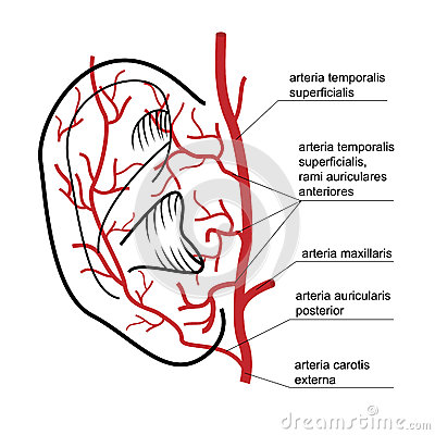 Blood Supply To The Ear Of Man. Stock Vector - Image: 45207390