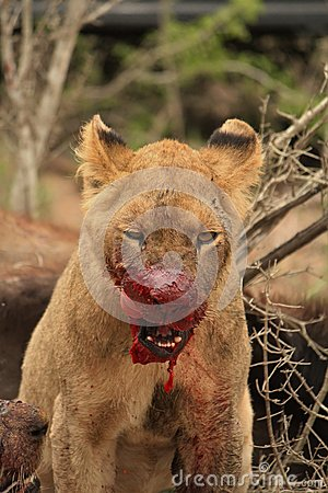 Free Blood Thirsty Lion Cub. Royalty Free Stock Images - 66724399