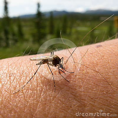 Blood thirsty mosquito on human arm