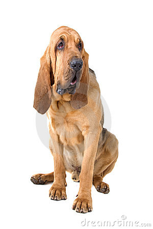 Free Bloodhound Stock Photography - 14047882