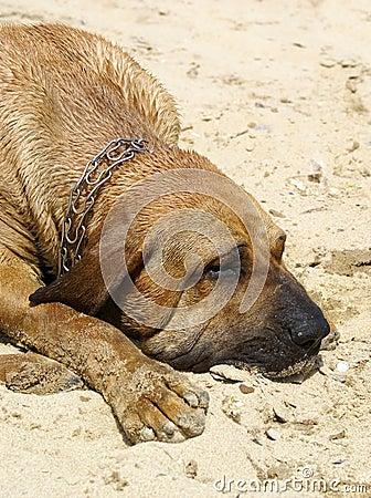 собака bloodhound