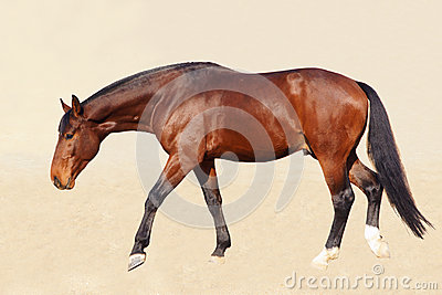 Bloodstock horse