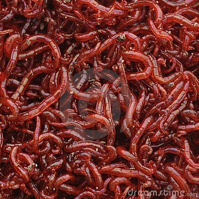 Bloodworms royalty free stock photo image 4656355 for Live fish food