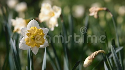 Bloom of narcissus. In the garden in evening light. Place for your text stock video