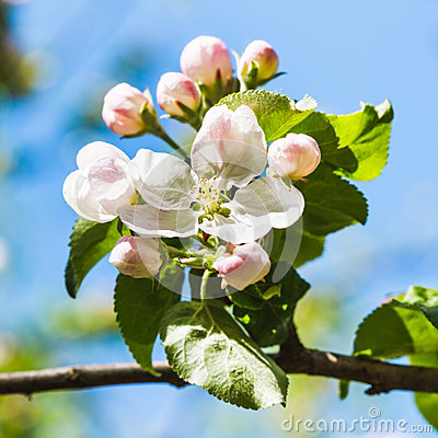 Free Bloom On Blossoming Apple Tree Close Up In Spring Royalty Free Stock Images - 54312319