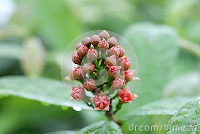 Bloom of Red Penda flower or Xanthostemon after raining