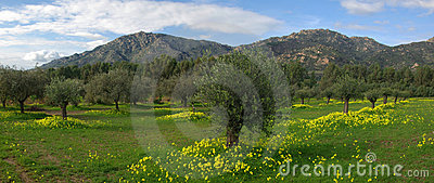 Bloomed Fields, Olive s Trees and Mountains