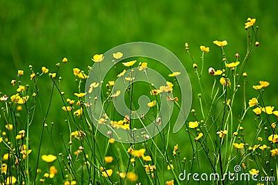Blooming alpine flowers