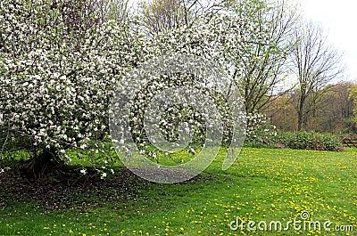 Blooming Apple Tree with Dandelions