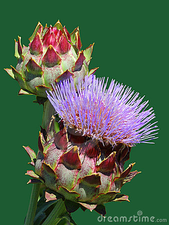 Blooming artichoke flower