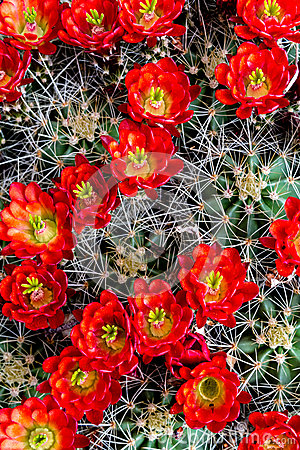 Free Blooming Barrel Cactus With Red Blooms Royalty Free Stock Photo - 40879315