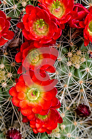 Free Blooming Barrel Cactus With Red Blooms Stock Photography - 40879382