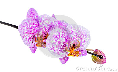 Blooming beautiful twig of lilac spotted orchid, phalaenopsis is Stock Photo