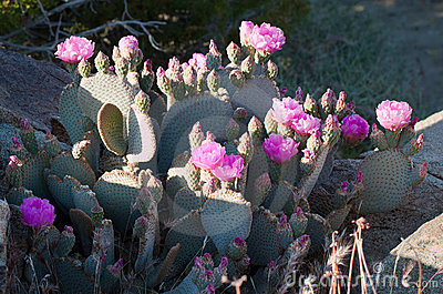 Blooming Beavertail red wild desert cacti