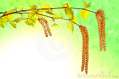 Blooming birch sprig with catkins