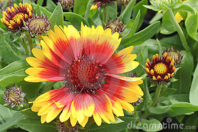 Blooming Blanket Flower