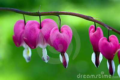 Blooming bleeding heart flowers in Spring garden