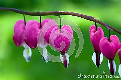 Blooming bleeding heart flowers in Spring garden