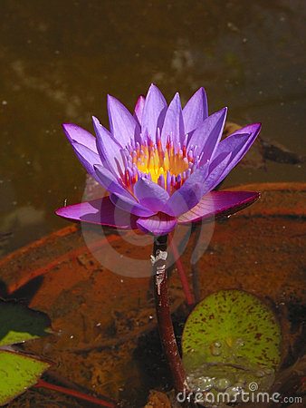 Blooming Blue purple Lotus ...symbol for Eastern Mystic traditions